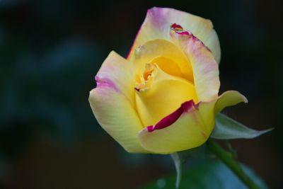 Junge Rosenblüte